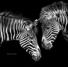 Zebra Photo by Photographer Marina Cano Zebra Painting, Zebra Art, Beautiful Creatures, Animals Beautiful, Cute Animals, Mundo Animal, Black And White Pictures, Black White, White Zebra