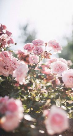 Pale pink roses <3