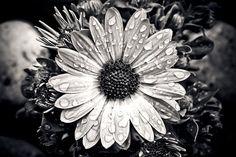 Cape Basket, Flower, Composites