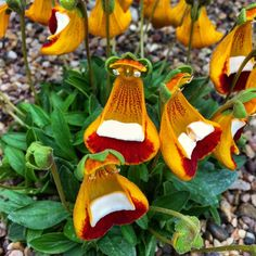 Calceolaria uniflora is blooming now in the alpine house #Calceolaria #Calceolariauniflora #kewgardens