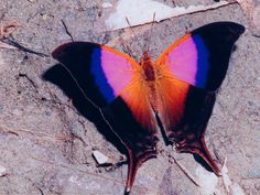 Marpesia iole  (Costa Rica). Looks color blocked