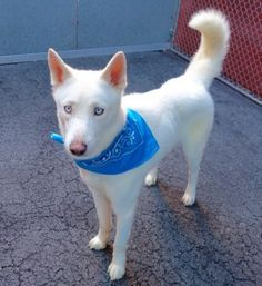 SAFE - 01/06/16 - CODY - #A1062010 - Urgent Manhattan - NEUTERED MALE, WHITE SIBERIAN HUSKY MIX, 1 Yr 5 Mos - STRAY - NO HOLD Intake 01/02/16 Due Out 01/05/16 - ALLOWED ALL HANDLING