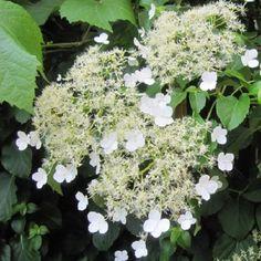 Hydrangea anomala Petiolaris (klimhortensia)  Schaduwrijke klimplanten,bloei:juni-sept,10-15m,vrij goed ziekte resistent