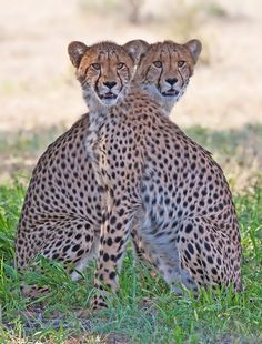 Cheetah Twins - Nice Shot !