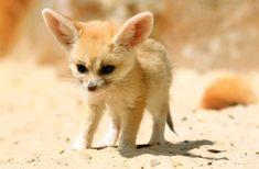 「fennec fox」の画像検索結果