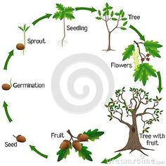 Life cycle of a oak tree on a white background, beautiful illustration. Tree Life Cycle, Tree Seedlings, Indoor Flowering Plants, Fruit Illustration, Sequencing Activities, Diy Projects For Beginners, Real Plants, Art Lessons Elementary, Oak Tree
