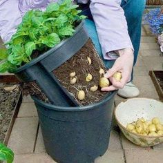 Make a potato pot by cutting out the sides of a pot and putting it inside another pot. Lift the inner pot to harvest the potatoes. Potatoes, Planter Pots, Veg Garden, Potato, Plant Pots