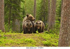 Family Of Brown Bears, Ursus Arctos, In Forest, Suomussalmi ...