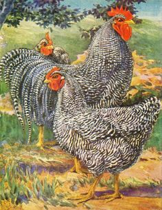 Plymouth Rocks (1920s Poultry Livestock Lithograph Print) ~ year round layers, cold hardy ~ <3