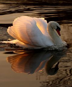 Nature Animals, Animals And Pets, Funny Animals, Cute Animals, Beautiful Swan, Beautiful Birds, Animals Beautiful, Cute Birds, Swan Lake