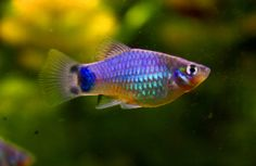 Blue_Mickey_Mouse_Platy close to Purple.