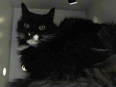 #URGENT #NYC #CATS gorgeous KATT-desperate for help before 11/4- RT/adopt/foster/pledge! https://www.facebook.com/PetsOnDeathRow/photos/a.576546742357162.1073741827.155925874419253/892274497451050/?type=3&theater…