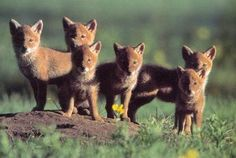 Coyotes deserve protection - The Denver Post