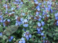 Ceratostigma 'Forest Blue' H1m S1.5m. Full sun. Fast-growing. Flowering August to October. Fully hardy. Spreading, deciduous shrub brings colour to the garden in late summer and early autumn when many other flowers have gone over. Masses of disc-shaped, vivid cobalt-blue flowers appear and in autumn the leaves turn a rich russet-red.