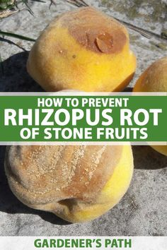 Do your peaches, apricots, nectarines, or plums look like they have whiskers? If so, they have Rhizopus rot. Learn how to keep this disease from spreading. Nectarine And Plum, Growing Fruit Trees, Greenhouse Plants, Plant Diseases, Stone Fruit, Lemon Balm, Organic Gardening, Herb Gardening, Edible Garden