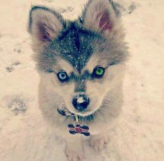 Huskies are a very active, energetic, and resilient breed whose ancestors came from the extremely cold and harsh environment of the Siberian Arctic. Siberian Huskies were bred by theChukchiof Northeastern Asia to pull heavy loads long distances through difficult conditions.