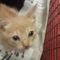 Austin Tx Domestic Shorthair Meet A Pet For Adoption In 2020 Pet Adoption Pets Adoption