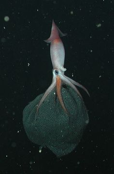The squid Gonatus onyx carries around her brood of 2,000 to 3,000 eggs for up to nine months. The squid moms have their arms full: While carrying their eggs, they're stuck swimming with their fins and mantle instead of their much more effective arms.