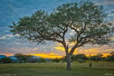 (SCLEROCARYA BIRREA) Marula tree.Indigenous to southern Africa (and parts of West Africa and Madagascar), the marula tree is known for its sweet, yellow fruit – and local lore says that same fruit becomes 'elephant alcohol' once it's fallen to the ground and fermented.