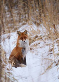 red fox in winter | animal + wildlife photography