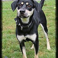 Shippenville, Pennsylvania - Labrador Retriever. Meet Dexter, a for adoption. https://www.adoptapet.com/pet/19535928-shippenville-pennsylvania-labrador-retriever