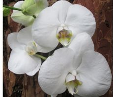 Phalaenopsis PH 030 Bristol