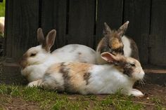 Google Image Result for http://img.ehowcdn.com/article-new/ehow/images/a06/97/3a/male-vs_-female-rabbits-800x800.jpg