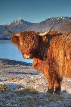 Highland cow.....Just  saw  this on Nat Geo Wild yesterday and was  researching to and  the breed, and taa daa...Pinterest! lol