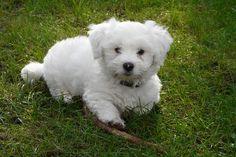 Bichons, Bichon Frise, Maltese, Dogs, Animals, Animales, Animaux, Pet Dogs, Doggies