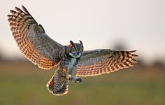great horned owl flying   Osceola County, FL - 1D3, 500mm, hand held, 1/1250, F4, ISO 1000 ...