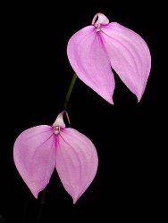 #masdevallia - learn 2 #grow http://www.growplants.org/growing/masdevallia