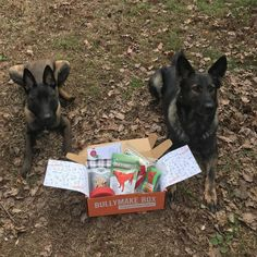 This Malinois and German Shepherd pair are ready to dig into their Bullymake Box! Bullymake Box is a monthly subscription for pups that love to destroy! Check out the details at www.bullymake.com via: @letty_and_nike Belgian Shepherd, German Shepherds, German Shepherd Dogs, I Love Dogs, Puppy Love, Doberman Love, Monthly Subscription, Belgian Malinois, Chihuahua Puppies