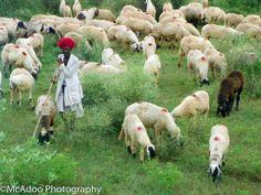 India - Jaiput sheepherder. September 2011