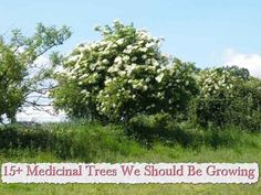 15+ Medicinal Trees We Should Be Growing