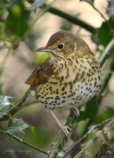 Song Thrush by judit filipinyi* I Like Birds, Cute Birds, Small Birds, Colorful Birds, Little Birds, Happy Animals, Cute Animals, Song Thrush, British Wildlife