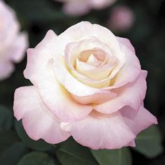 Crescendo - Hybrid Tea - strong spicy fragrance