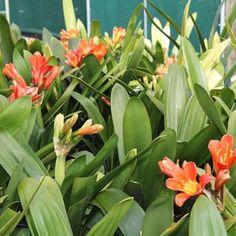 Aww Nursery - Clivia miniata Fire Glow Availability: PB5 $13.50 In Stock Current height 30cm