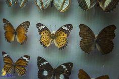 В музее КФУ открылась выставка редких видов бабочек / Наша Газета Крым - свежие новости Севастополя, Симферополя, Ялты, Алушты