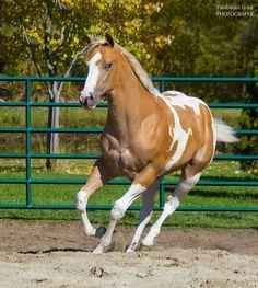 (96) Williams paint horses Farm - Photos