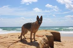 Lexie German Shepherd loves the beach - 23 months