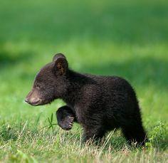 """ A Walk on the Wild Side by Nick Kalathas Black bear cub exploring it's area """