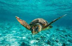 El 60% de las tortugas bobas en las playas de Sudáfrica ingirieron plástico