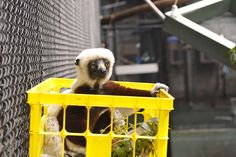 A milk crate or laundry basket can serve as a sleeping or sunning spot for our diurnal lemurs!  Hanging several at different heights in an exhibit provides multiple options for them! Photo by David Haring