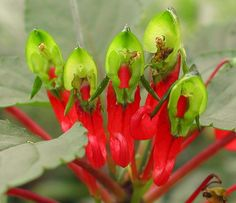 Impatiens parasitica is a fascinating, rare species from India.