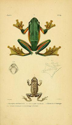 Rhacophore Reinwardt 'Erpétologie General or, Complete Natural History of Reptiles' by AMC Dumeril & G Bibron, 1854