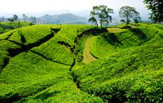 Find Tea Plantation Taken Bandung Indonesia stock images in HD and millions of other royalty-free stock photos, illustrations and vectors in the Shutterstock collection. Java, Bandung City, Places To Travel, Places To Visit, Bogor, Plantation, Vacation Destinations, Best Hotels, Trip Planning
