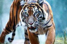 Glenn's photo of a Sumatran Tiger which has gone a little viral...
