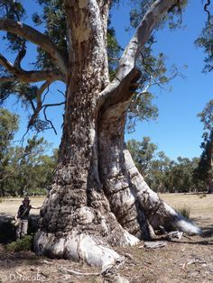 eucalyptus camaldulensis 800 years old - Google Search