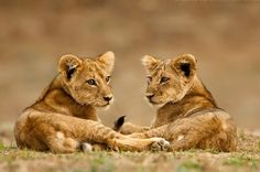 lion cubs - animals, big cats, cats, cat, cute, sweet