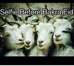 Eid al-Adha, Bakra Selfie
